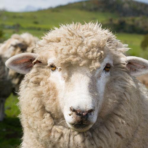 Wooly sheep looking at the camera
